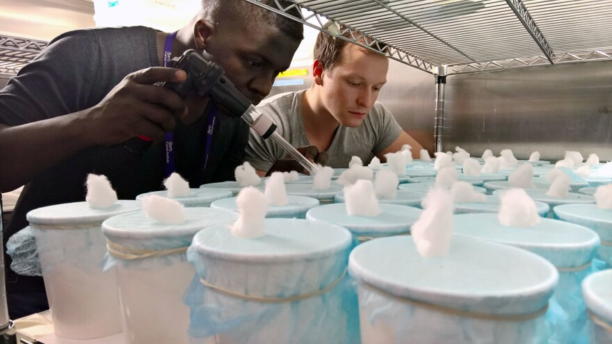 Christopher Bamikole and Andrew Hammond assess mosquitoes at Imperial College London.