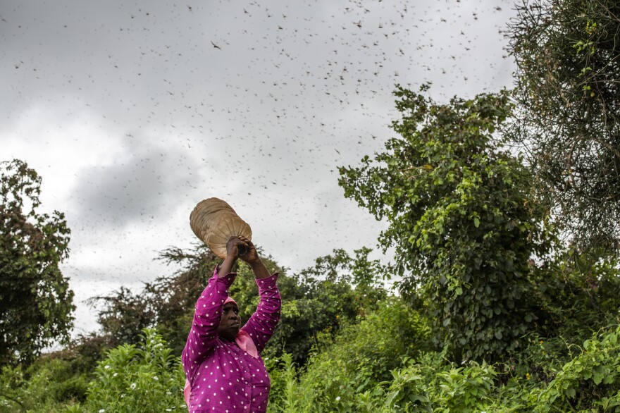 A local resident shakes a bottle filled with pebbles at a swarm of desert locusts last month in Kitui County, Kenya.