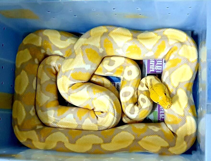 Among a recent haul of snakes in Bangkok was an albino Burmese python.