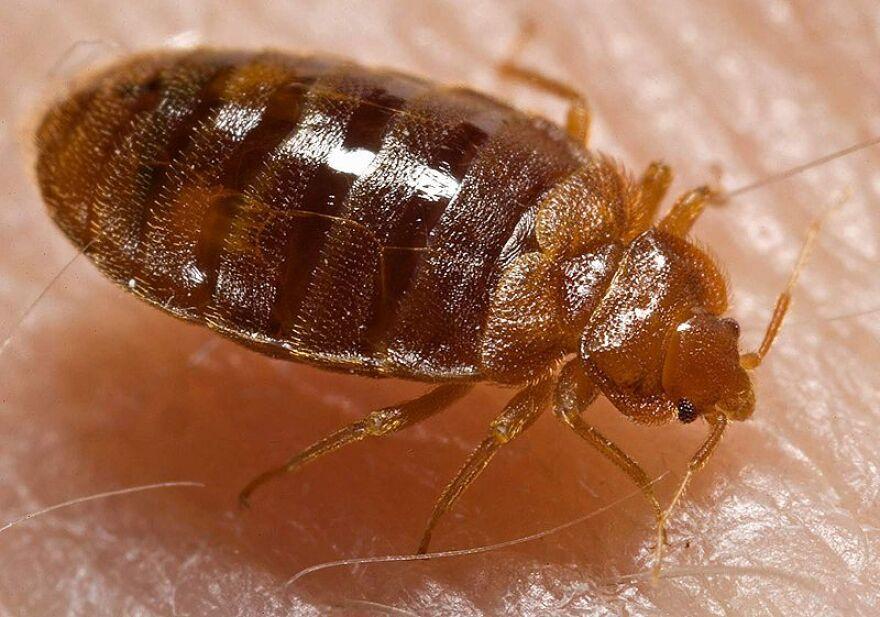 bed_bugs_CDC.jpg