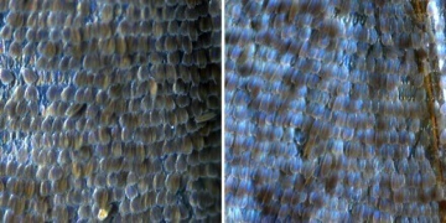 By selecting for a slightly different shape in the scales of the wing, scientists bred a population of brown butterflies into blueness.