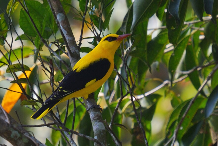 Many composers have made music out of birdsong over the centuries. Pictured: A Eurasian golden oriole. (Srihari Kulkarni/Flickr)