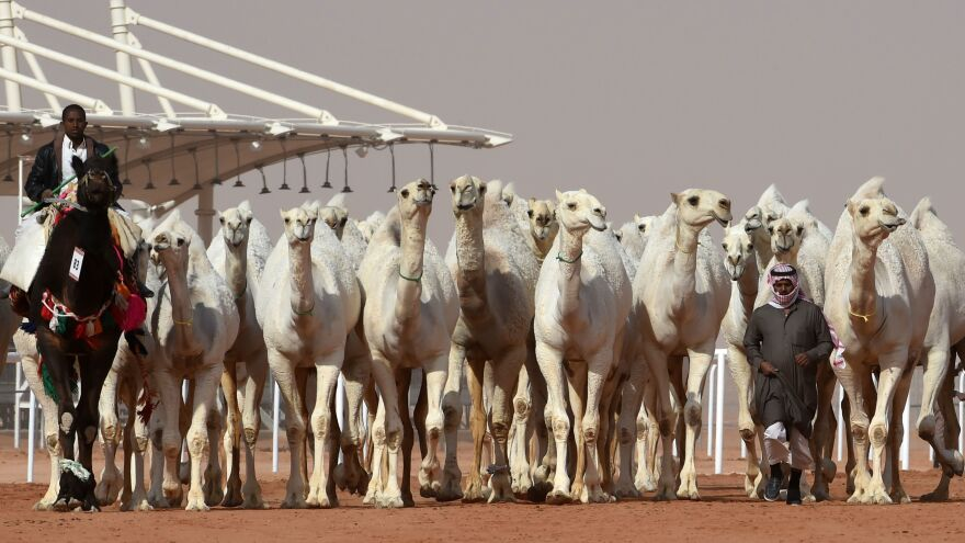 Saudi men lead camels during a beauty contest as part of the annual King Abdulaziz Camel Festival in Rumah, Saudi Arabia, on Friday. A dozen camels were banned from the competition for receiving Botox injections.