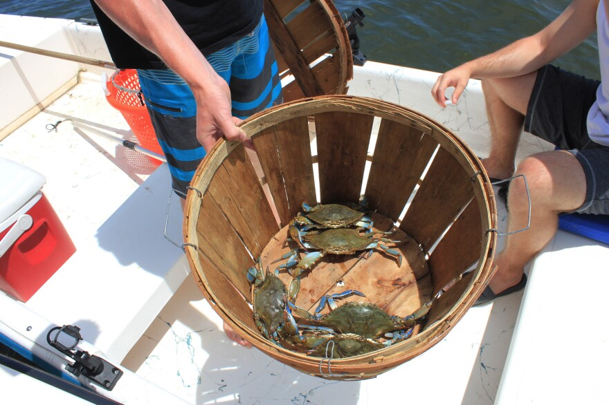 Eric Young, Matthew Gaskins, and Steve Hinks went out crabbing for fun, and caught five blue crabs on their first run of the day. Gaskins says so far it's shaping up to be a good year for crabbing on the Chesapeake.
