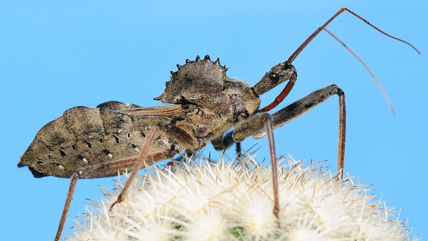 Adult Arilus cristatus (wheel bugs) are equipped with a cog-like plate of armor.