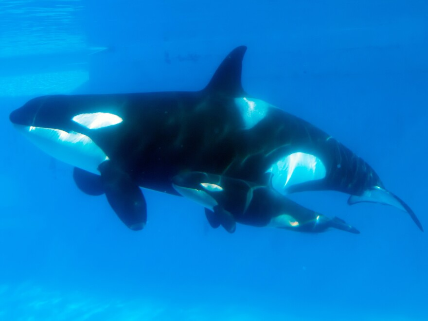 """Kasatka swims with her calf in 2013. Hargrove says that when another of Kasatka's calves was taken from her, she emitted """"heartbreaking"""" vocalizations. SeaWorld's Chuck Tompkins says Hargrove's """"interpretation"""" is different """"from mine or any other trainer that was there."""""""