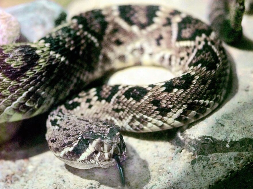 A diamondback rattlesnake — not this one — injected a Texas man with a dangerous dose of venom even though it had been decapitated. The man is in stable condition.