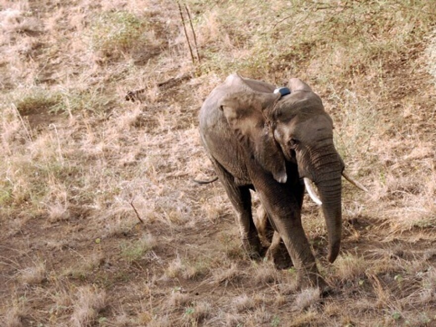 A small number of elephants are being tracked using radio collars to help South Sudan figure out how to protect the animals from poachers and development.