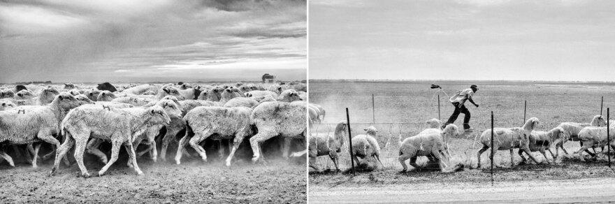 Sheep in a denuded wheat field, Mendota, Calif.