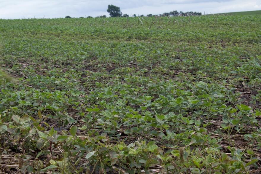Soybeans grow in Washington County, Iowa, in June 2018.