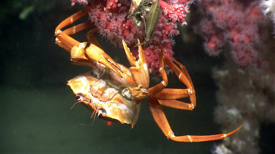 A deep sea red crab hangs out on a bubblegum coral in Phoenix Canyon, off the coast of Delaware.