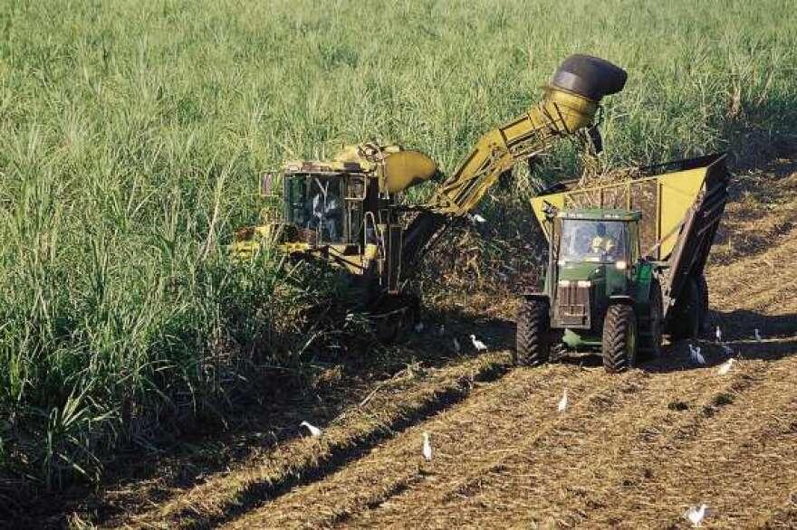 Workers harvest sugar.
