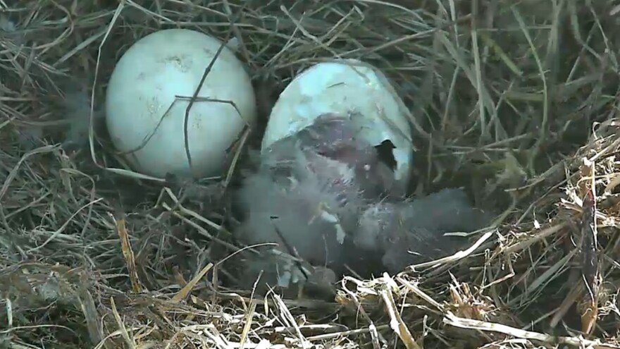 After much anticipation, an eaglet began emerging from its shell Friday morning.