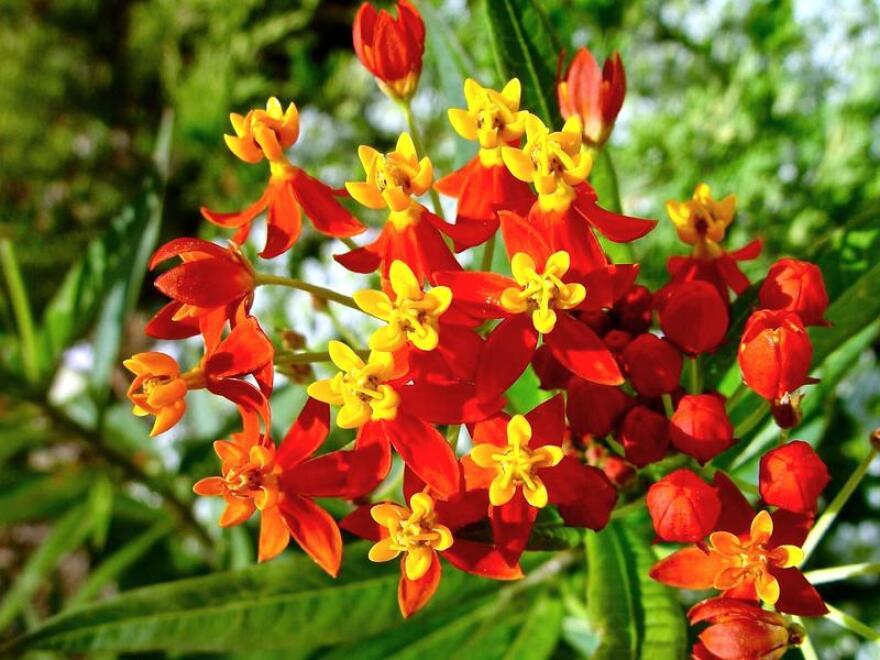 Tropical milkweed.