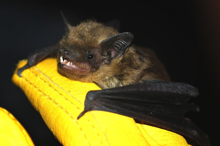 """Big brown bats like this one are relatively common in urban areas, sometimes roosting in buildings. Contrary to popular belief, bats rarely carry rabies and are not rodents. They belong to the order <em>Chiroptera</em>, which means """"hand-wing."""""""