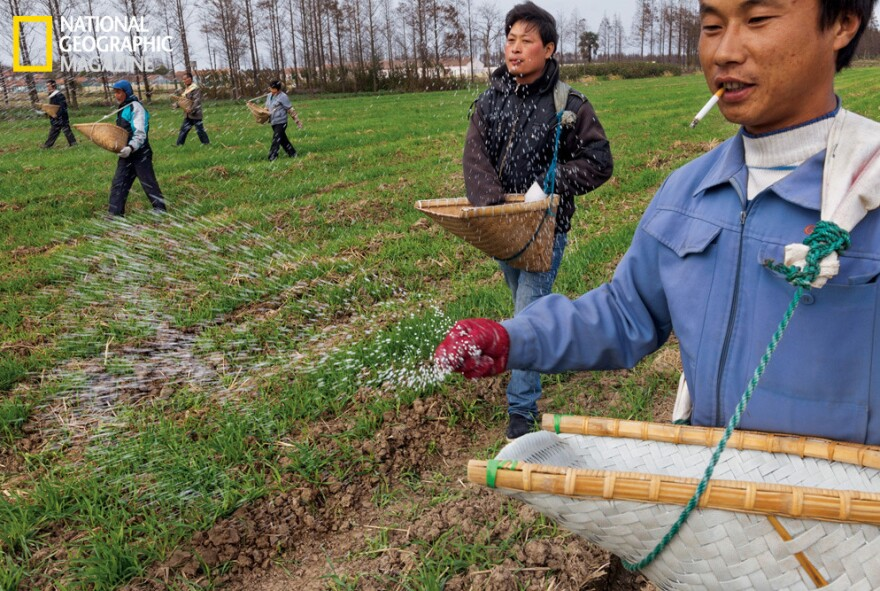 Workers at a cooperative farm near Shanghai scatter fertilizer across fields of winter wheat. Image from the May issue of <em>National Geographic</em> magazine.