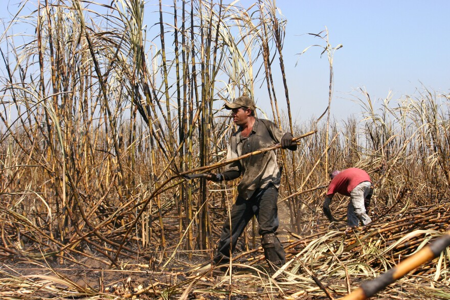Laborers in the sugar cane fields of Central America are experiencing a rapid and unexplained form of kidney failure. Above: Harvesting sugar cane in Chichigalpa, Nicaragua.