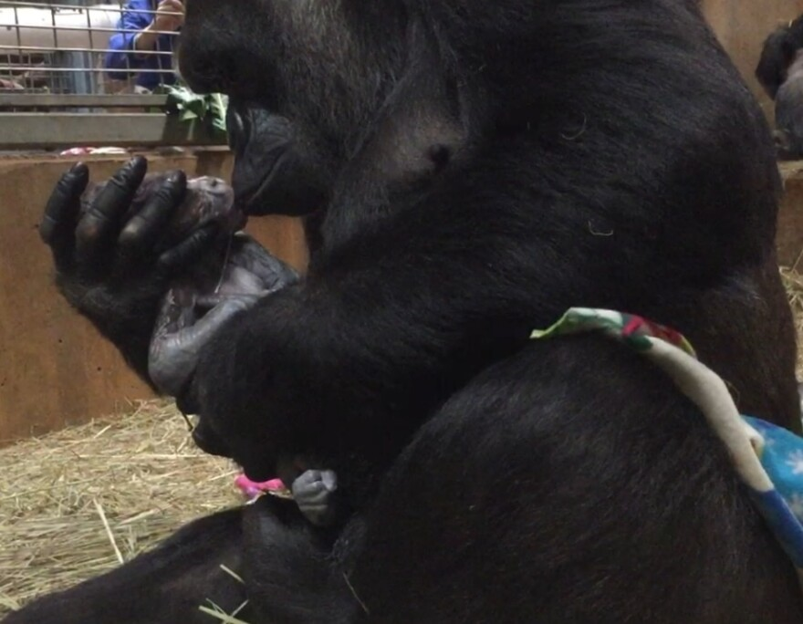Calaya gives baby Moke a kiss. Staff at the Smithsonian's National Zoo are optimistic that the pair are bonding.