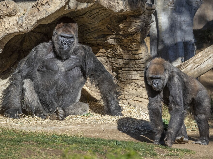Two gorillas at the San Diego Zoo Safari Park tested positive for COVID-19 on Monday. A zoo statement says the apes have mild symptoms, but are doing well.