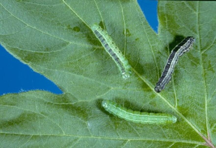 cankerworms.jpg