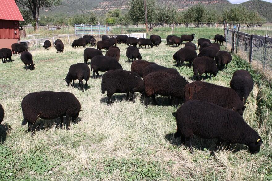 Black Welsh Mountain sheep, a rare breed, graze at Desert Weyr, a farm near Paonia, Colo.