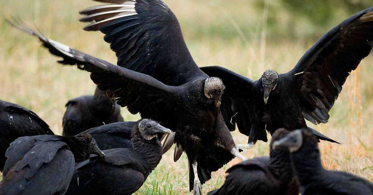 'A Very Aggressive, Nasty Bird'; Missouri Fights Deadly Black Vultures