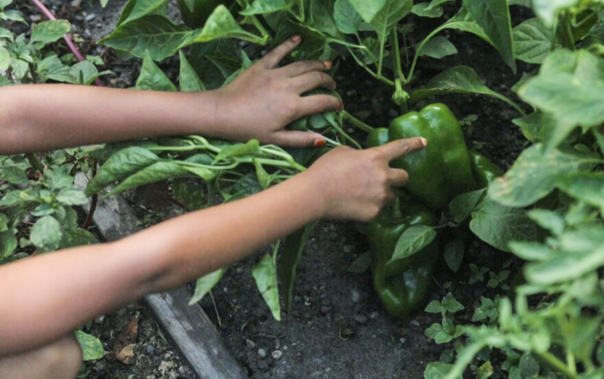 Fatima Begum, age 7, shows off a pepper she has been tending since starting it from seed. Her mother, Minara Begum, sells the surplus produce she grows to Detroit restaurants through a group called Bandhu Gardens.