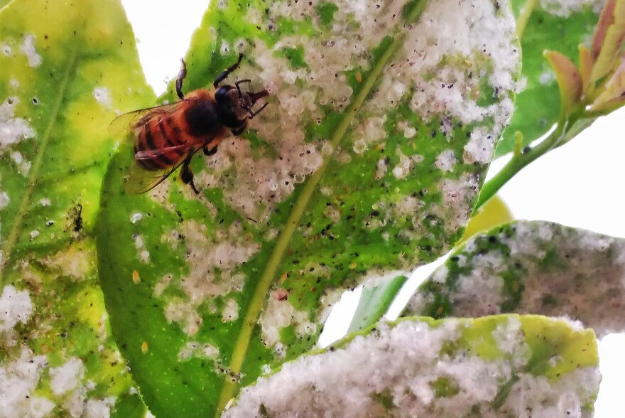 Honeybees are seen feeding on the honeydew of whiteflies in citrus trees. Traces of neonicotinoids, a family of pesticides, have shown up in honeydew, an important food source for other insects.