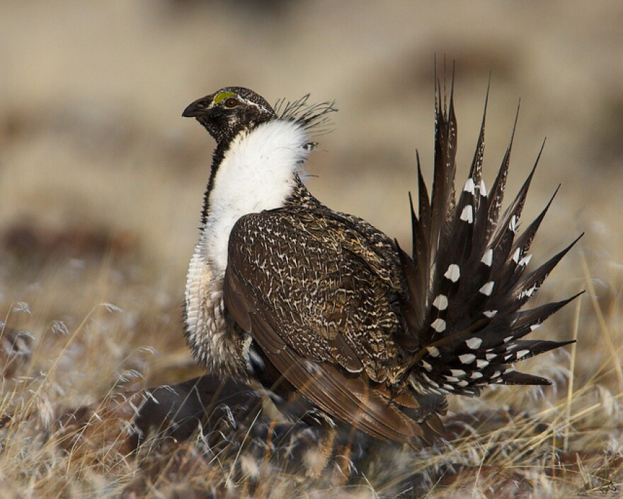 The federal government decided not to list the sage grouse under the Endangered Species Act in 2015, under the assumption that states would pursue aggressive conservation actions.