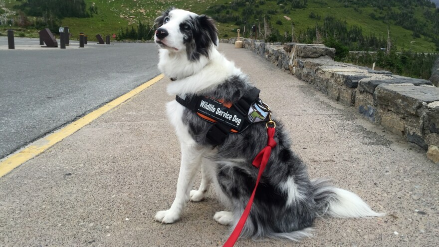 Gracie, Glacier National Park's first Bark Ranger, shepherds wildlife away from popular tourist spots and teaches park visitors how to safely view wildlife.