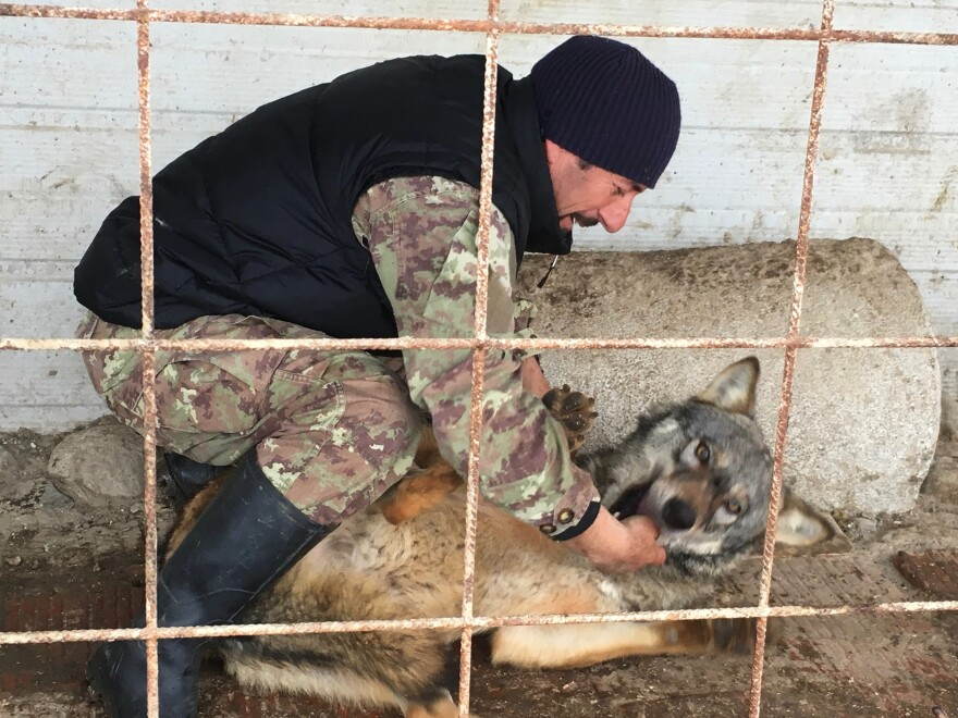 Hysni Rexha, 51, is a farmer in western Kosovo. He named his favorite wolf after Donald Trump.