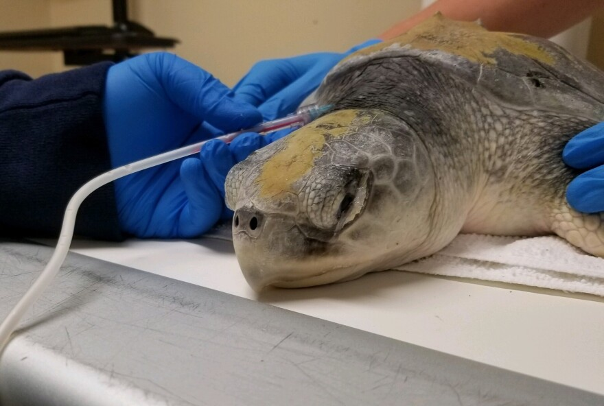 A turtle at the Clinic for the Rehabilitation of Wildlife on Sanibel Island is treated using intravenous lipid emulsion. Researchers in South Florida are examining the treatment's effects on endangered sea turtles.