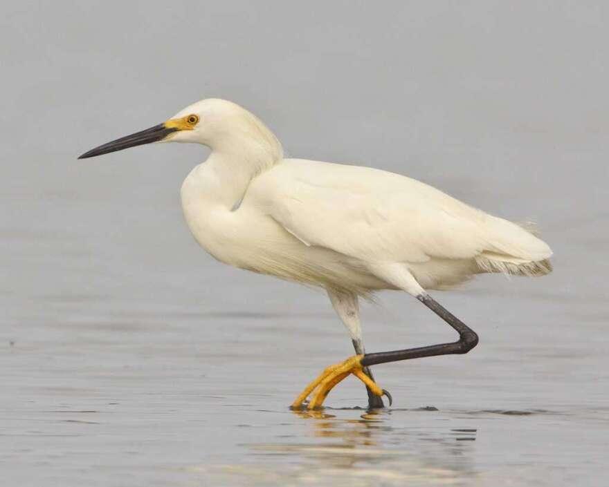 snowy-egret-via-audubon.jpg