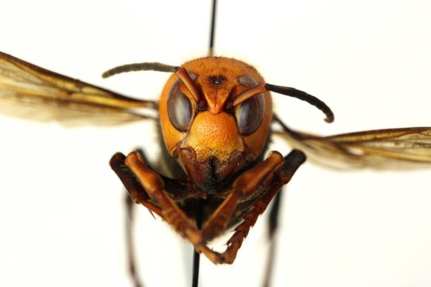 An Asian giant hornet specimen