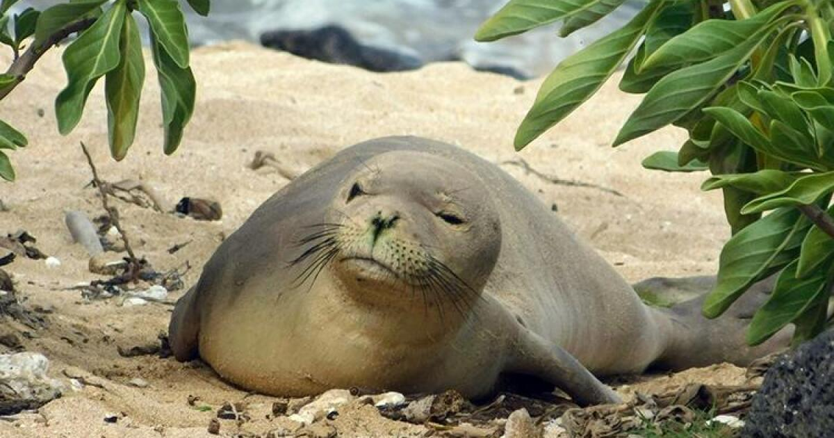 Tourists Fined $500 for Touching Hawaiian Monk Seals