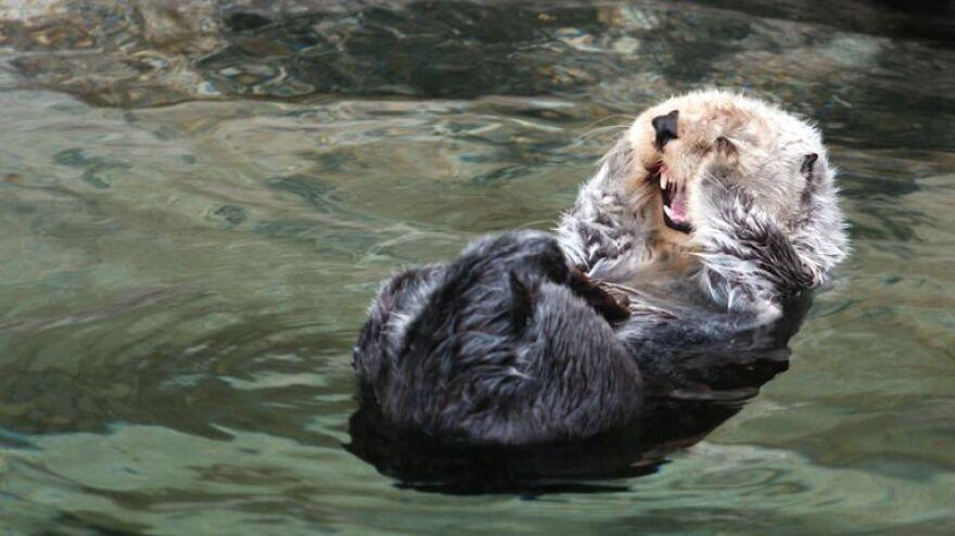Sea Otter 2 Ian McCluskey OPB.jpg