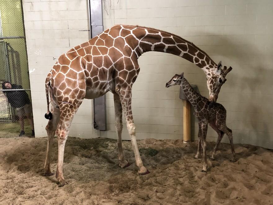 cmzoo_giraffe_calf_2019.jpg