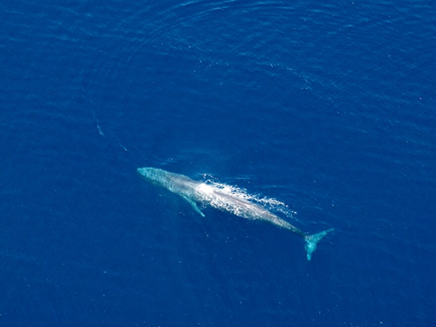 A blue whale is seen in Timor waters in an undated photo. The marine mammal buttresses Cope's rule, the notion that over the course of evolution, most animals tend to get bigger.