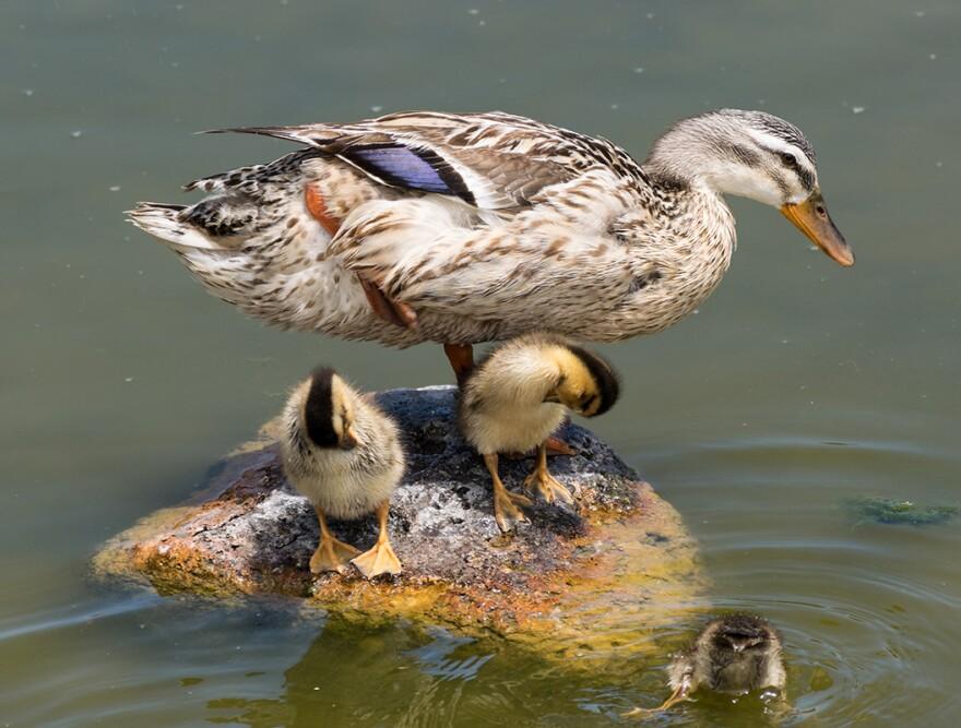 duck_photo_edit_for_web.jpg
