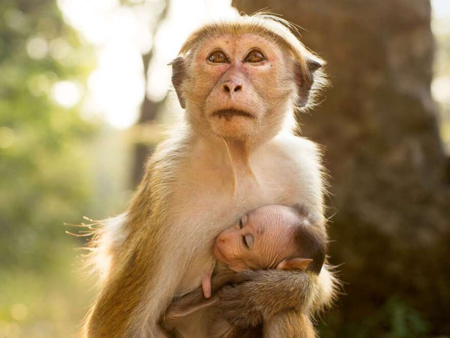 Maya, shown with her newborn, Kip, had to strive to rise above her lowly station in the monkeys' social hierarchy.