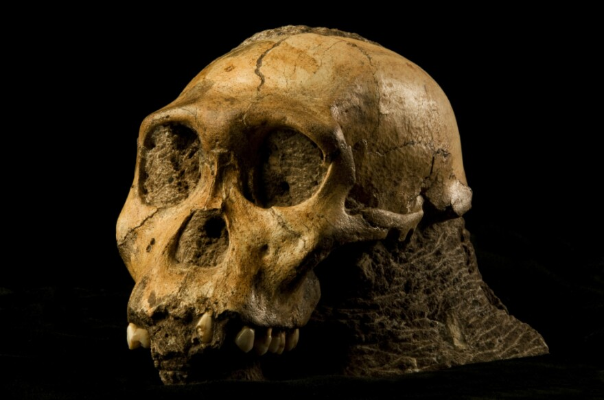 "The fossil of <em>Australopithecus sediba</em> could be the long-sought transition between ape-like ancestors and the first humans. ""It shows a small brain, but a brain that's beginning to reorganize in some ways that resemble our brain,"" says anthropologist Lee Berger."