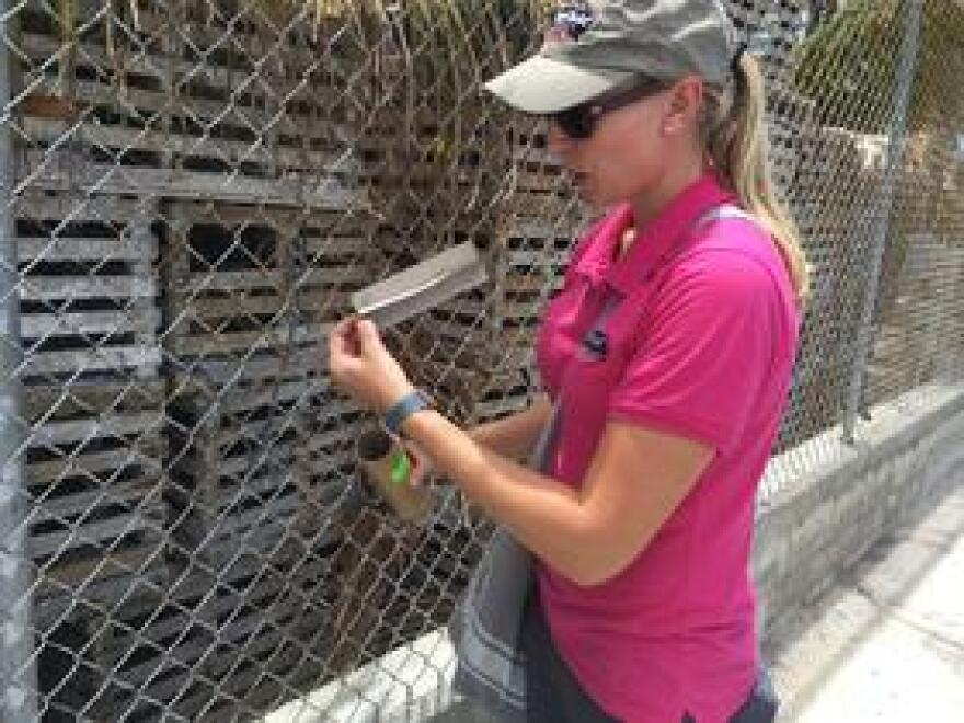 Catherine Pruszynski, research biologist for the Florida Keys Mosquito Control District, encourages some reluctant male mosquitoes infected with Wolbachia to fly out into the wild.