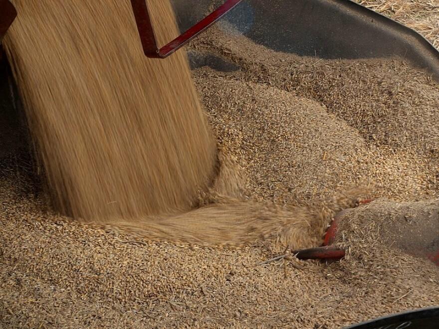 Barley being harvested.