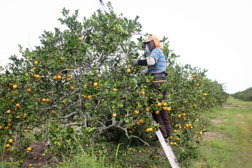Migrants picking citrus