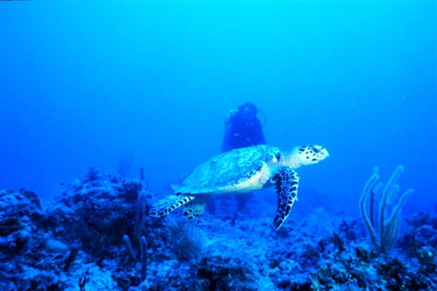 sea_turtle_florida_keys_g._mcfall_noaa.jpg