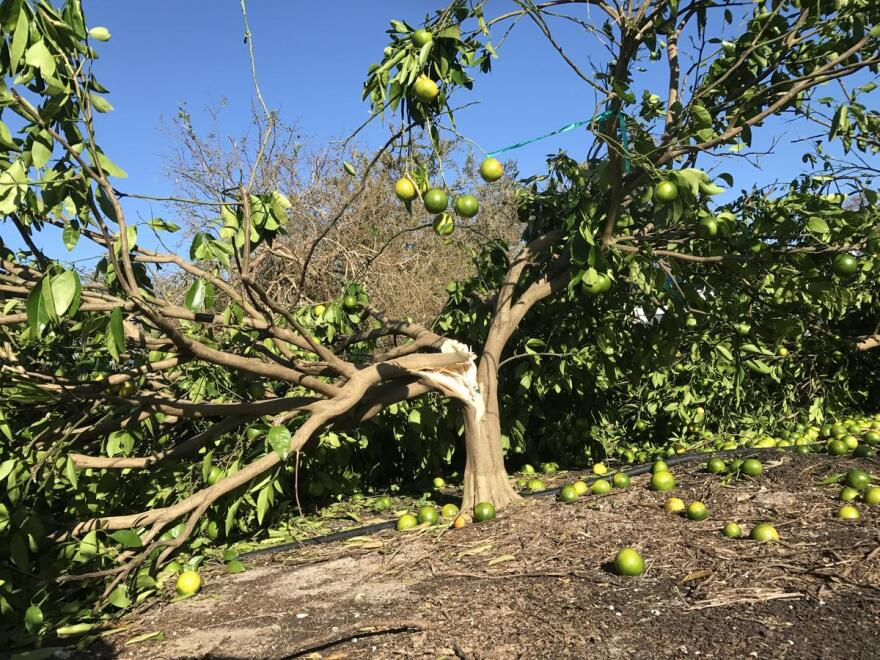Some split citrus trees are salvageable, but if the tear goes all the way down to the graft union, what will grow won't be the desired and designed fruit.