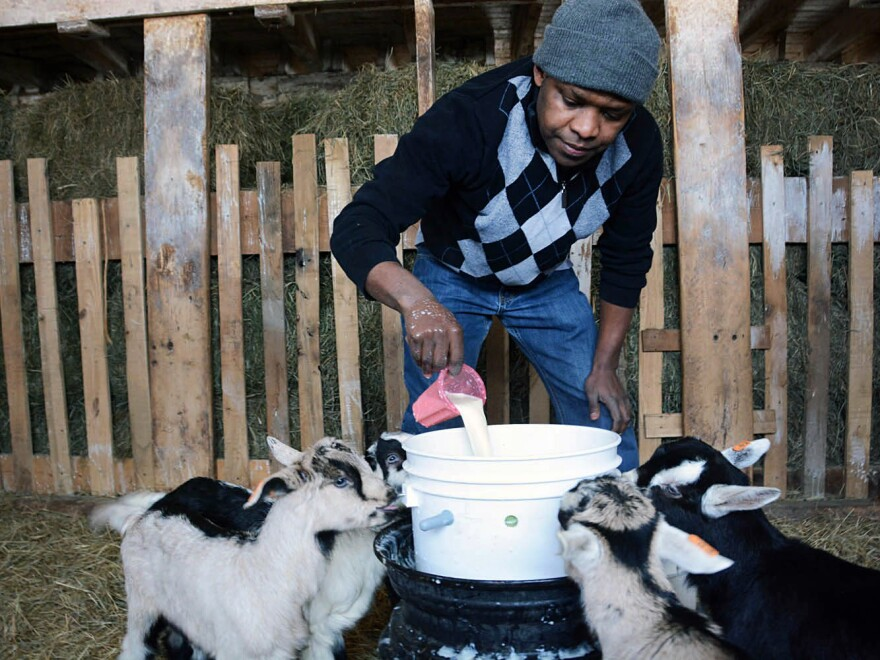 Theoneste Rwayitare, a Rwandan refugee who resettled in Vermont last year, pours powdered milk into a bucket for milking at the Vermont Goat Collaborative's Pine Island Farm.