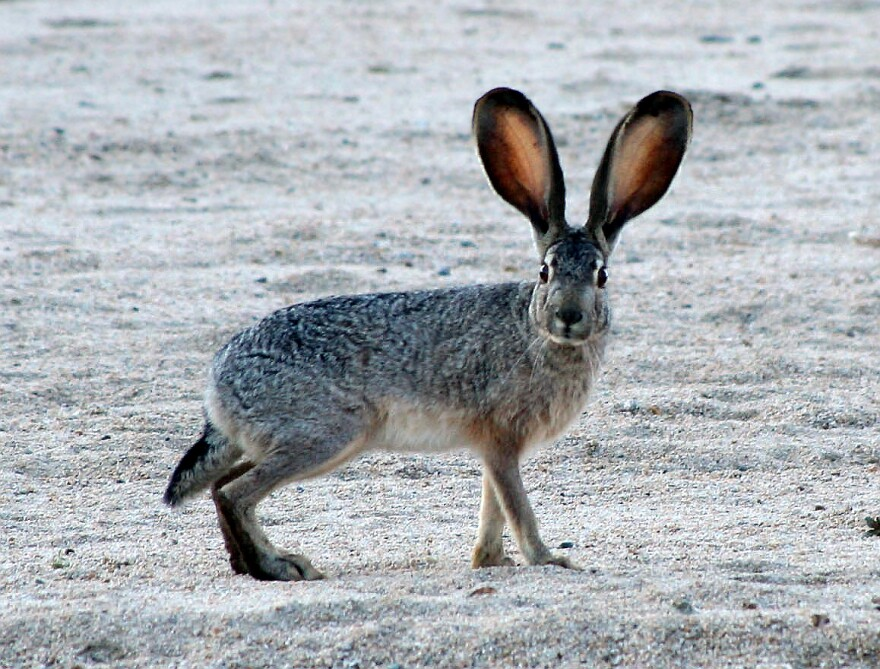 El Paso veterinarian Marc Silpa told Texas Standard that hikers come across clusters of dead wild rabbits around El Paso.