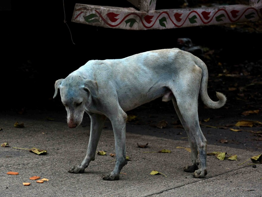 One of the stray dogs that turned blue hangs out on a street in the Taloja industrial zone in Mumbai.