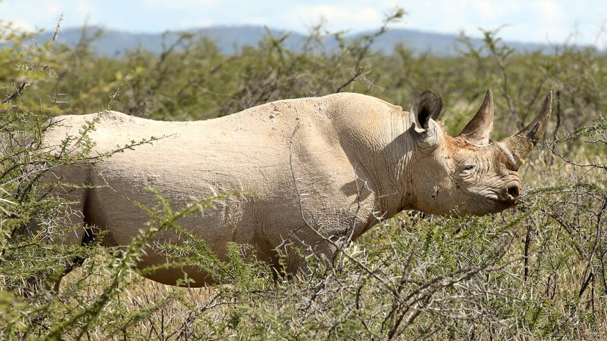 An endangered black rhino is seen in this file photo from the Etosha National Park in norhern Namibia last year. An American hunter has killed one of the animals, under a special permit he bought for $350,000. While the rhinoceros is referred to as black, its colors vary from shades of brown to gray.